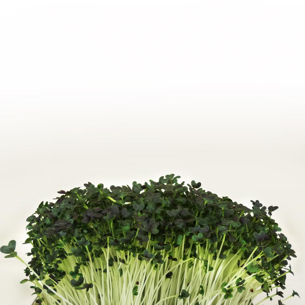 Flixgrün Mizuna-Sprossen kurz vor der Ernte