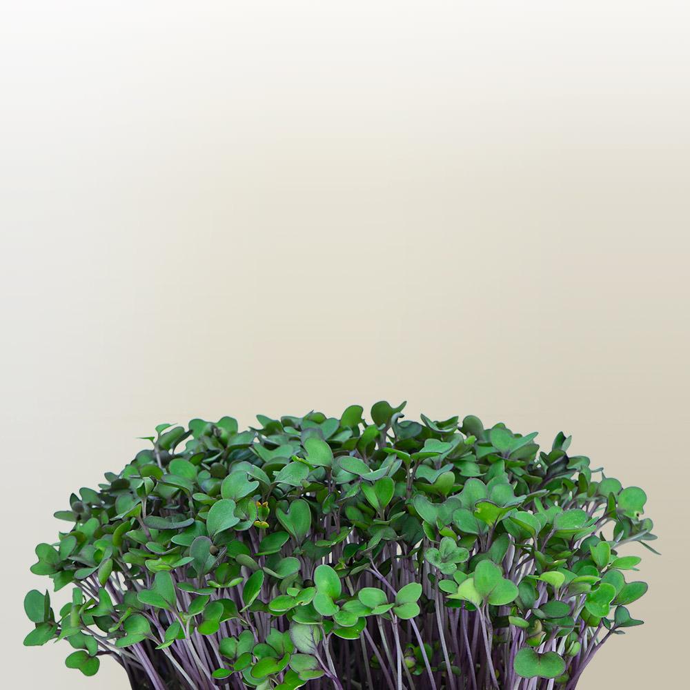 Flixgrün Rotkohl-Sprossen kurz vor der Ernte