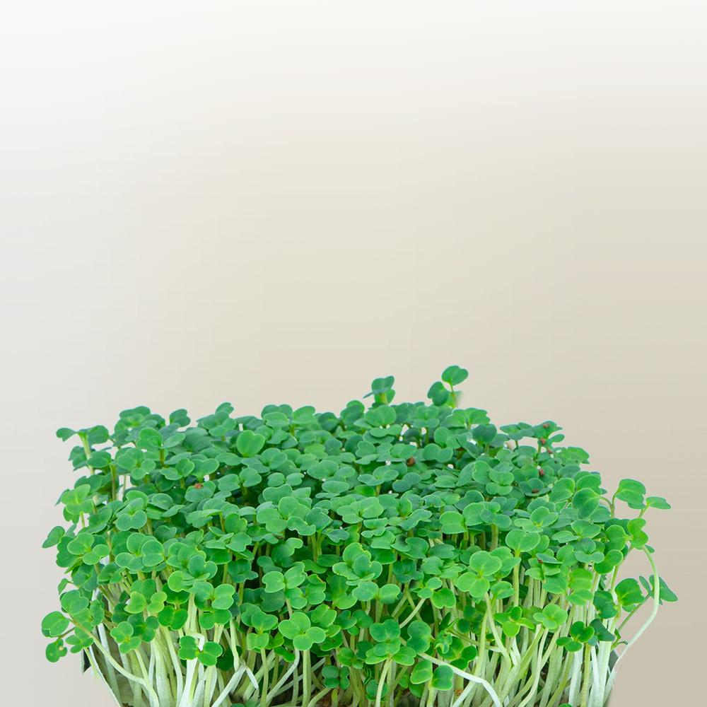 Flixgrün Rucola-Sprossen kurz vor der Ernte