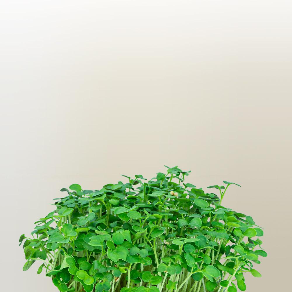 Flixgrün Senf-Sprossen kurz vor der Ernte